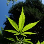 Alcohol DUIs and Marijuana DUIs: What is the Difference?
